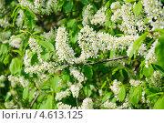 Купить «Цветы черёмухи (Prunus padus)», фото № 4613125, снято 11 мая 2013 г. (c) Алёшина Оксана / Фотобанк Лори