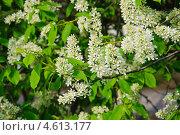 Купить «Цветы черёмухи (Prunus padus)», фото № 4613177, снято 11 мая 2013 г. (c) Алёшина Оксана / Фотобанк Лори