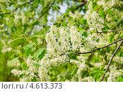 Купить «Цветы черёмухи (Prunus padus)», фото № 4613373, снято 11 мая 2013 г. (c) Алёшина Оксана / Фотобанк Лори