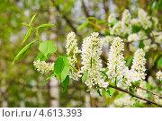 Купить «Цветущая черёмуха (Prunus padus)», фото № 4613393, снято 11 мая 2013 г. (c) Алёшина Оксана / Фотобанк Лори
