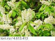 Купить «Цветы черёмухи (Prunus padus)», фото № 4613413, снято 11 мая 2013 г. (c) Алёшина Оксана / Фотобанк Лори