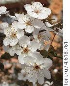 Купить «Цветы алычи крупным планом», фото № 4618761, снято 4 апреля 2013 г. (c) Ирина Водяник / Фотобанк Лори