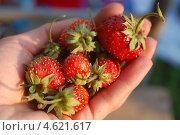 Клубника садовая в ладошке. Стоковое фото, фотограф Елена Бачурина / Фотобанк Лори