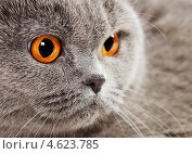 Портрет серого британского кота. Стоковое фото, фотограф Петр Малышев / Фотобанк Лори