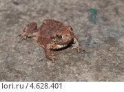 Купить «Молодая обыкновенная серая жаба (Bufo bufo)», эксклюзивное фото № 4628401, снято 12 мая 2013 г. (c) Елена Коромыслова / Фотобанк Лори