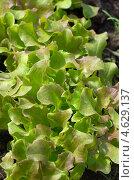 Купить «Молодые листья листового салата», эксклюзивное фото № 4629137, снято 12 мая 2013 г. (c) Елена Коромыслова / Фотобанк Лори