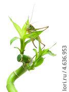Купить «Большой зеленый кузнечик на растении», фото № 4636953, снято 27 июня 2011 г. (c) Ласточкин Евгений / Фотобанк Лори