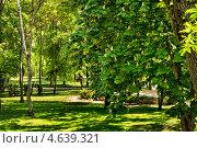 Цветущий каштан в парке. Стоковое фото, фотограф ValeriyK / Фотобанк Лори