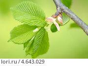 Купить «Зелёные листья орешника», фото № 4643029, снято 12 мая 2011 г. (c) Владимир Блинов / Фотобанк Лори
