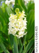 Желтый гиацинт (Hyacinthus) Стоковое фото, фотограф Елена Коромыслова / Фотобанк Лори