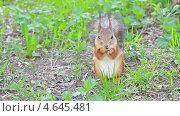 Купить «Белка ест семечки», видеоролик № 4645481, снято 20 мая 2013 г. (c) Никита Майков / Фотобанк Лори