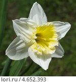 Купить «Белый нарцисс  (Narcissus)», эксклюзивное фото № 4652393, снято 8 мая 2013 г. (c) Елена Коромыслова / Фотобанк Лори