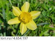 Купить «Желтый нарцисс  (Narcissus)», эксклюзивное фото № 4654197, снято 8 мая 2013 г. (c) Елена Коромыслова / Фотобанк Лори