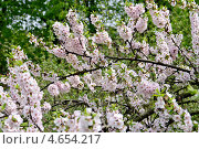Купить «Весна. Цветение войлочной вишни», фото № 4654217, снято 10 мая 2013 г. (c) Илюхина Наталья / Фотобанк Лори