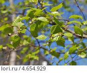 Купить «Молодые листики березы весной на фоне синего неба», эксклюзивное фото № 4654929, снято 7 мая 2013 г. (c) lana1501 / Фотобанк Лори