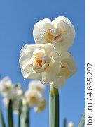 """Купить «Нарцисс махровый """"Обдам (Obdam)""""», эксклюзивное фото № 4655297, снято 2 мая 2013 г. (c) lana1501 / Фотобанк Лори"""