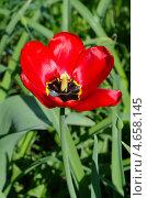 Купить «Красный тюльпан (Tulipa)», эксклюзивное фото № 4658145, снято 15 мая 2013 г. (c) Елена Коромыслова / Фотобанк Лори