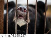 Купить «Черный гималайский медведь (белогрудый медведь) в приюте в Московской области», фото № 4658237, снято 15 января 2013 г. (c) Филонова Ольга / Фотобанк Лори