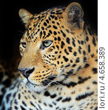 Купить «Леопард», фото № 4658389, снято 16 сентября 2012 г. (c) Эдуард Кислинский / Фотобанк Лори