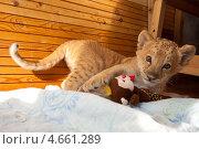Львёнок с игрушкой. Редакционное фото, фотограф Александр Жильцов / Фотобанк Лори
