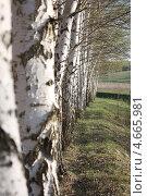 Ряд белых берез. Стоковое фото, фотограф Александр Пащенко / Фотобанк Лори