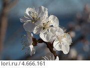 Цветы яблони на фоне реки. Стоковое фото, фотограф Алексей Лугинин / Фотобанк Лори
