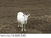 Купить «Коза на сухой земле», фото № 4668545, снято 18 мая 2013 г. (c) Nina Dudka / Фотобанк Лори