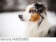 Купить «Австралийская овчарка Реал Виннер на фоне снежного поля, зимой», фото № 4673053, снято 10 января 2013 г. (c) Филонова Ольга / Фотобанк Лори