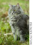 Купить «Серый сибирский кот в лесу», фото № 4674153, снято 4 мая 2013 г. (c) Сурикова Ирина / Фотобанк Лори