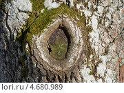 Купить «Наплыв на месте срезанной ветви старого дерева», эксклюзивное фото № 4680989, снято 24 марта 2013 г. (c) Александр Щепин / Фотобанк Лори