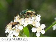 Купить «Бронзовка золотистая (Cetonia aurata) на цветках черноплодной рябины», эксклюзивное фото № 4683205, снято 23 мая 2013 г. (c) Елена Коромыслова / Фотобанк Лори