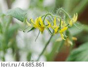 Купить «Цветы томата», фото № 4685861, снято 22 мая 2013 г. (c) Иван Черненко / Фотобанк Лори