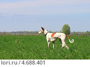 Поденко ибиценко (ибицкая борзая) в поле. Стоковое фото, фотограф Елена Кутепова / Фотобанк Лори