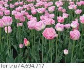 Розовые тюльпаны на клумбе. Стоковое фото, фотограф Анна Демьяненко / Фотобанк Лори