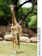 Купить «Жираф в зоопарке», фото № 4698053, снято 22 июня 2012 г. (c) Василий Сорокин / Фотобанк Лори