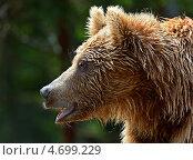 Купить «Портрет бурого медведя в профиль», фото № 4699229, снято 25 мая 2013 г. (c) Эдуард Кислинский / Фотобанк Лори