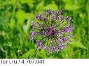 Купить «Лук голландский декоративный (Allium hollandicum)», эксклюзивное фото № 4707041, снято 29 мая 2013 г. (c) Елена Коромыслова / Фотобанк Лори