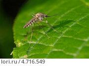 Купить «Комар на зеленом листе», эксклюзивное фото № 4716549, снято 26 мая 2012 г. (c) Елена Коромыслова / Фотобанк Лори