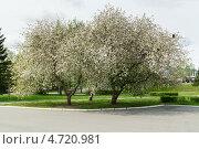 Яблочная аллея. Стоковое фото, фотограф Alexandr Banshikov / Фотобанк Лори
