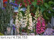 Купить «Красивая цветочная композиция с наперстянкой в цветнике на даче», фото № 4736153, снято 6 июня 2013 г. (c) Ольга Липунова / Фотобанк Лори