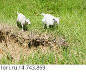 Купить «Козлята в траве», фото № 4743869, снято 23 мая 2013 г. (c) Nina Dudka / Фотобанк Лори
