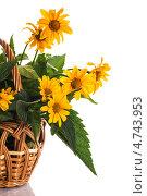 Купить «Цветы гелиопсиса», фото № 4743953, снято 11 июня 2013 г. (c) Peredniankina / Фотобанк Лори
