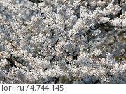 Купить «Много нежных цветов белой японской сакуры ( Prunus serrulata ) цветет весной», фото № 4744145, снято 24 апреля 2013 г. (c) Ольга Липунова / Фотобанк Лори