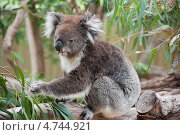 Купить «Австралийская Коала ест листья эвкалипта», фото № 4744921, снято 1 апреля 2013 г. (c) Кропотов Лев / Фотобанк Лори