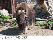 Купить «Овцебык», фото № 4745553, снято 8 мая 2013 г. (c) Pukhov K / Фотобанк Лори