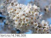Купить «Ветка белой японской сакуры ( Prunus serrulata ) с белыми нежными цветами», фото № 4746309, снято 12 апреля 2013 г. (c) Ольга Липунова / Фотобанк Лори