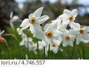Нарциссы дачные. Стоковое фото, фотограф Елена Бачурина / Фотобанк Лори