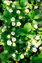 Цветущая клубника на грядке, эксклюзивное фото № 4748161, снято 25 мая 2013 г. (c) Яна Королёва / Фотобанк Лори