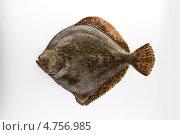 Рыба камбала. Стоковое фото, фотограф Slava Pozdnyakov / Фотобанк Лори
