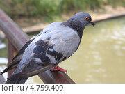 Одинокий голубь. Стоковое фото, фотограф Tkachuk Svetlana / Фотобанк Лори